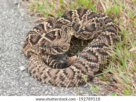 A large, impressive and potentially deadly Eastern Diamondback Rattlesnake poises in strike position when encountered on a south Florida roadside. - stock photo