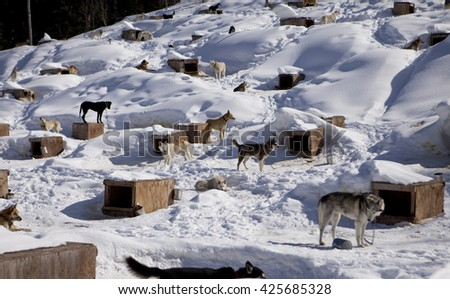 A large kennel in winter houses a sled dog team. The individual doghouses provide shelter during storms and overnight even through the dog's fur keeps them warm..