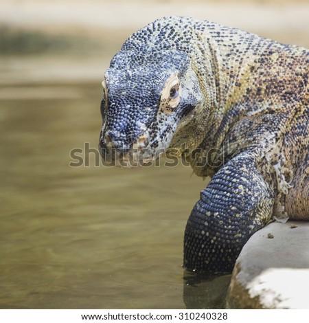 A large Komodo dragon, Varanus komodoensis, near the water is looking at the camera - stock photo