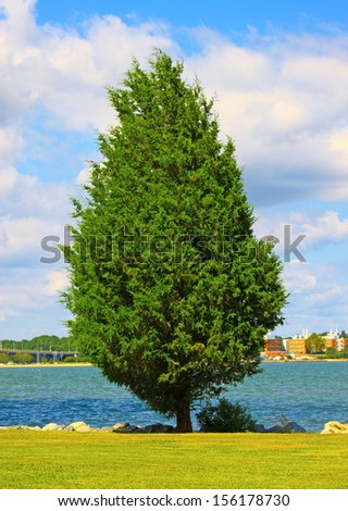 A large lone Cyprus tree along the York river shoreline in Yorktown Virginia on a bright colorful summer day - stock photo