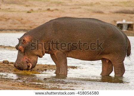 A Large Lone Hippopotamus standing on the edge of a waterhole - stock photo
