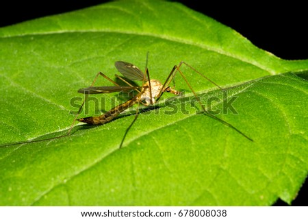 A large malarial mosquito sits on a green leaf. Macro