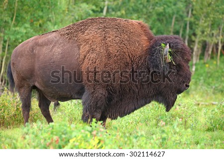A large male bison (Bison bison) native to the plains and boreal forests of North America.