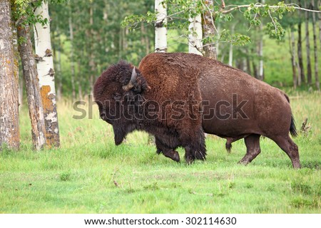 A large male bison (Bison bison) native to the plains and boreal forests of North America. - stock photo