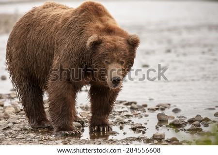 A large male brown bear with scars on its face looks at photographer; full body