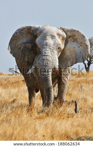 A large male elephant front, vertically with open ears in Etosha National Park