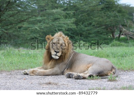 a large male lion lying in Ruaha National Park
