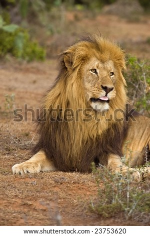 A large Male Lion Pulls a tongue at the photographer
