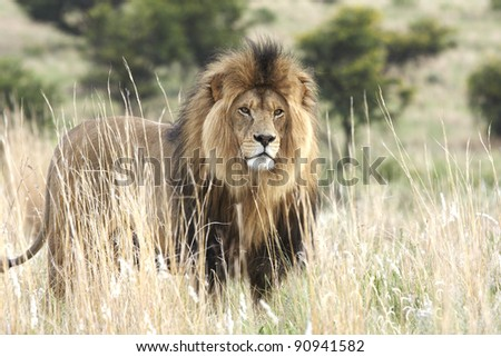 A large male lion standing alert in thick grass veld - stock photo