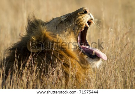 A large male lion yawns.