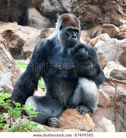A large male of silver back gorilla sitting and looking his territory - stock photo