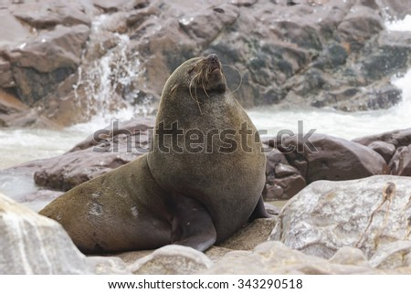 A large male south African fur seal basks in the sun on a rocky beach in Namibia - stock photo
