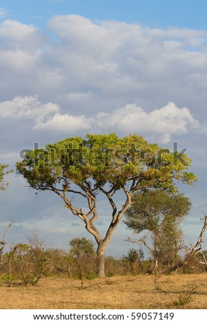 A large marula tree in south africa