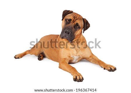 A large Mastiff dog laying down on a white background and tilting her head