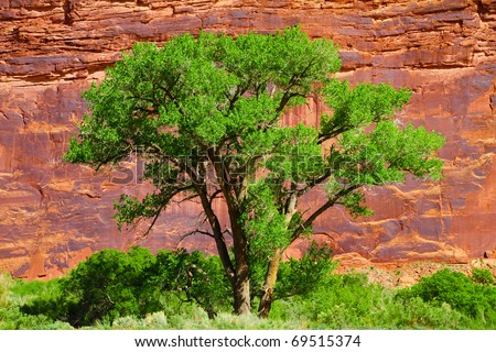A Large native cottonwood tree along the Colorado River with sandstone canyon wall behind it. - stock photo