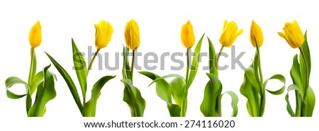 a large number of yellow tulips arranged vertically on a white background - stock photo