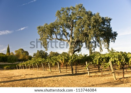 A large oak tree shades a California vineyard in late summer - stock photo
