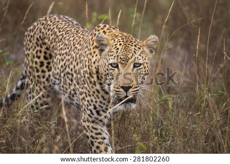 A large, old leopard male with tattered ears walking through long, dry grass. - stock photo