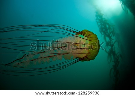 A large Pacific sea nettle jellyfish (Chrysaora fuscescens) drifts along the edge of a Monterey kelp forest.  Many colorful creatures are found living among the kelp forests of California. - stock photo