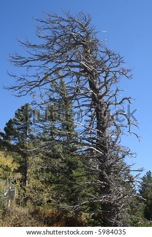 A large pine tree, bent and twisted by the prevailing winds, on top of Sandia Peak, in New Mexico - stock photo