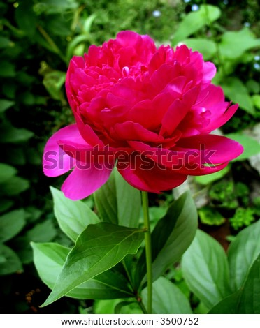 A large pink peony in full bloom in a garden in the spring