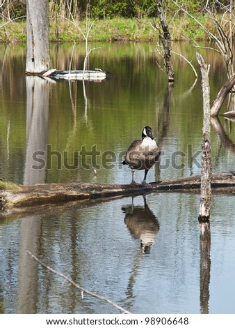 A large, plump Canada Goose (Branta canadensis) surveys his domain from atop a waterlogged fallen branch in a nature preserve marsh