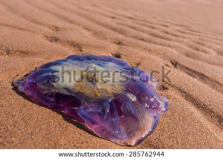 A large purple jellyfish washed up on a Prince Edward Island beach. - stock photo