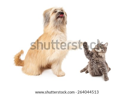 A large Pyrenean Shepherd dog and a little tabby cat lifting their paws to high five