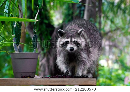 A large raccoon is standing on a plank beside a plant looking at viewer. - stock photo