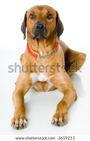 A large Rhodesian Ridgeback lying on studio floor on white background