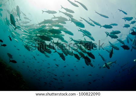 A large school of jacks circle overhead in Costa Rica. - stock photo