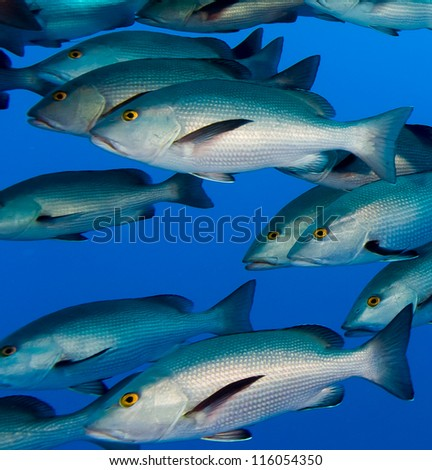 A large school of Snapper in blue water - stock photo