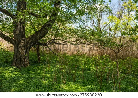 A large shade tree in this Spring meadow in Eastern Pennsylvania. - stock photo