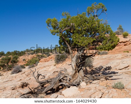 A large specie of Juniper Tree in the high desert of Canyonlands National park - stock photo