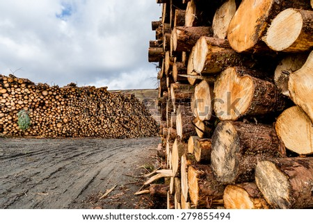 A large stack of pine logs stacked for collection from plantation. - stock photo