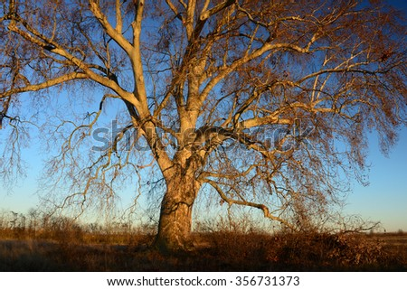 A large sycamore tree in western Slovakia in winter at sunset.