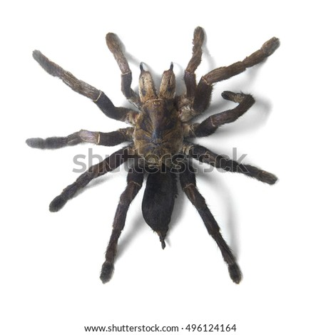 A large tarantula spider isolated on a white background