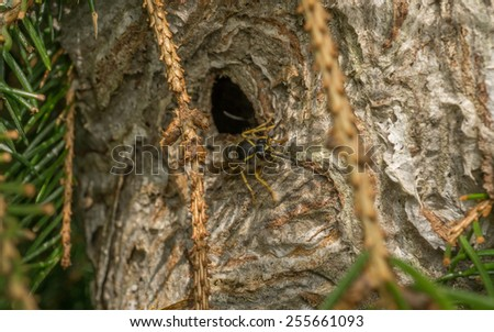 A large wasp's nest with a wasp emerging