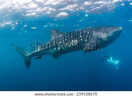 A large whaleshark swims in the Pacific ocean off Costa Rica's Corcovado peninsula with a snorkeler on the surface - stock photo