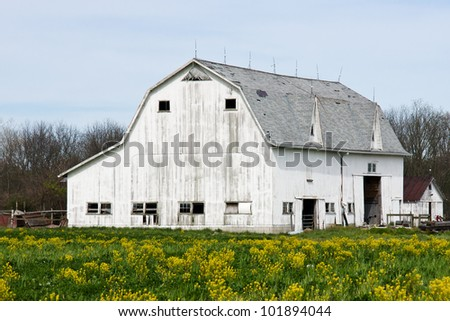 A large white barn in need of some TLC surrounded by yellow flowered plant life located in middle Ohio Amish country