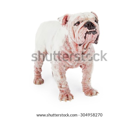 A large white Bulldog with late stage demodectic mange, missing fur and red irritated skin - stock photo