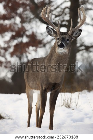 A large, white-tailed deer buck, stands on a hillside, alert.  Late autumn in Wisconsin - stock photo