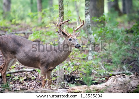 A large white-tailed deer buck walking through the woods. Velvet remaining on right side of antlers. - stock photo