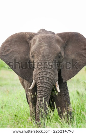 A large wild bull African Elephant grazing in an open grassland on a cloudy day - stock photo