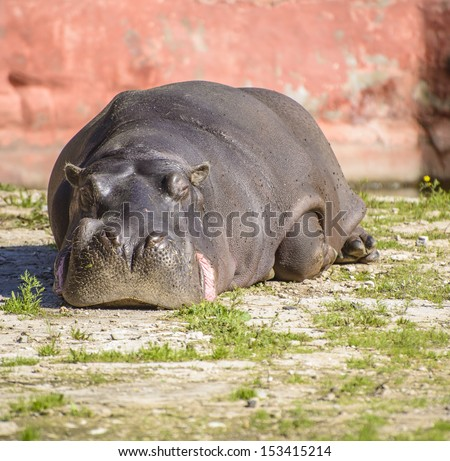 A Large Zoo Hippo Resting Under Sunlight - stock photo