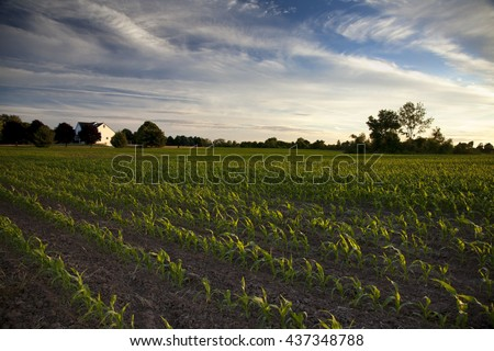 A late afternoon rural scene in Western New York, featuring a field of corn and a beautiful sky. - stock photo