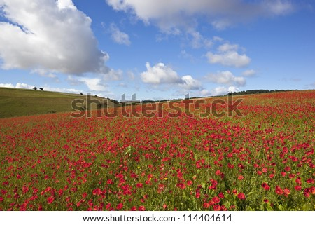 a late summer landscape on the yorkshire wolds england under a blue cloudy sky masses of red poppies flowering on a hillside - stock photo