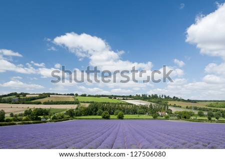 A lavender field in full bloom, Kent, UK, 2012 - stock photo