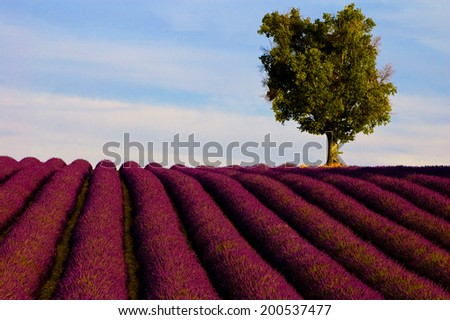 A lavender field with a tree. Shot of a pattern of lavender rows with a lone tree on it.