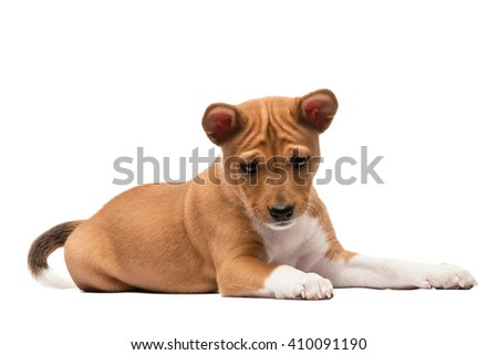 A laying basenji puppy looking down - stock photo